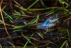 Moorfrosch wartet auf Damenbesuch