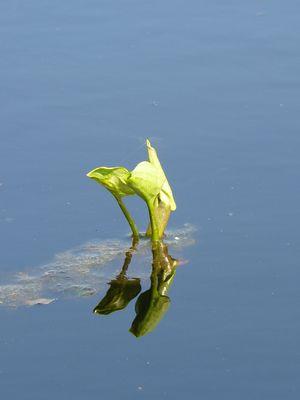 Moorpflanze