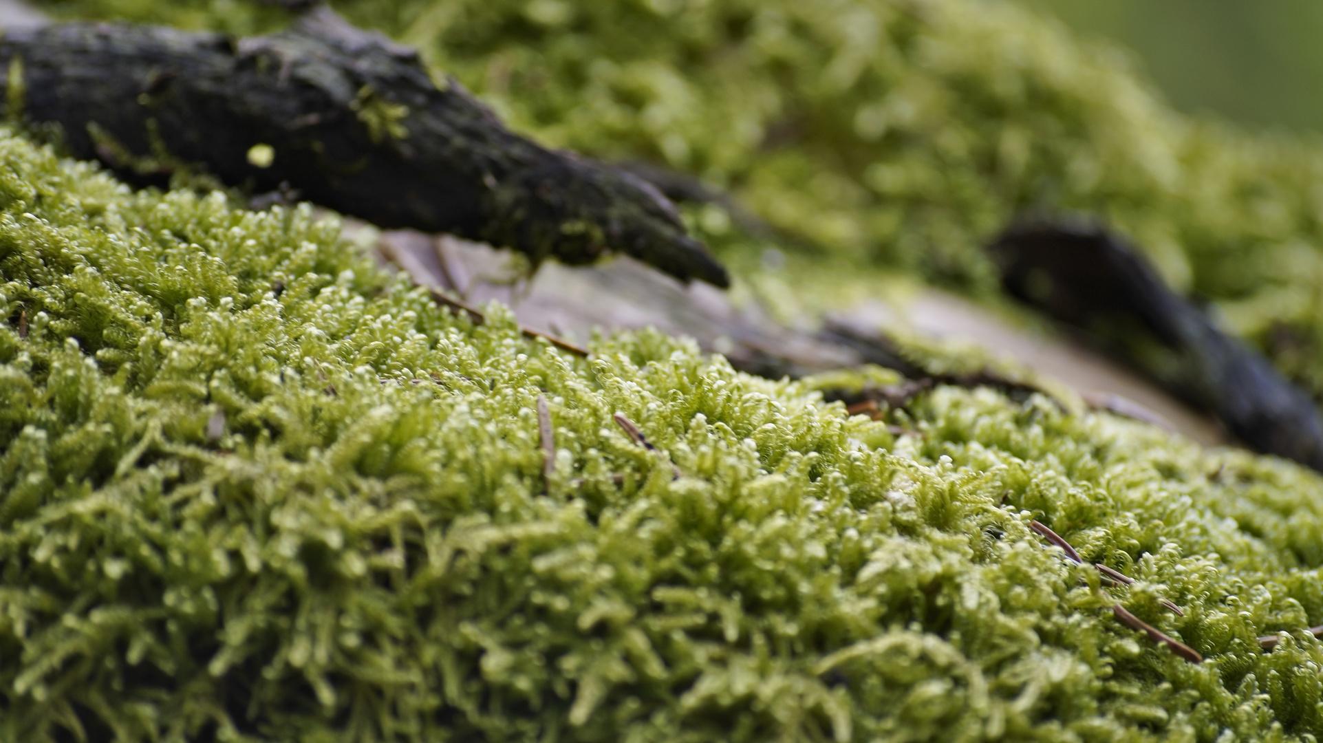 Moos auf baumwurzel foto bild pflanzen pilze for Moos bilder pflanzen
