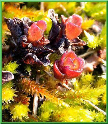 Moos-Blüte
