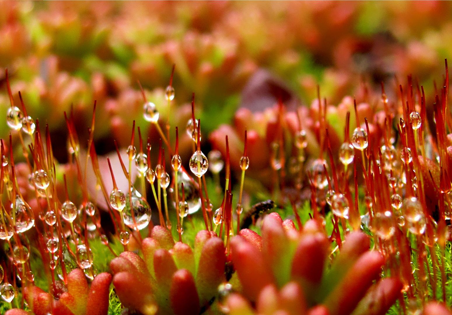 Moos mit wassertropfen foto bild pflanzen pilze for Moos bilder pflanzen