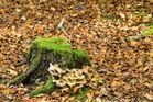 Moos & Pilze am toten Baumstumpf