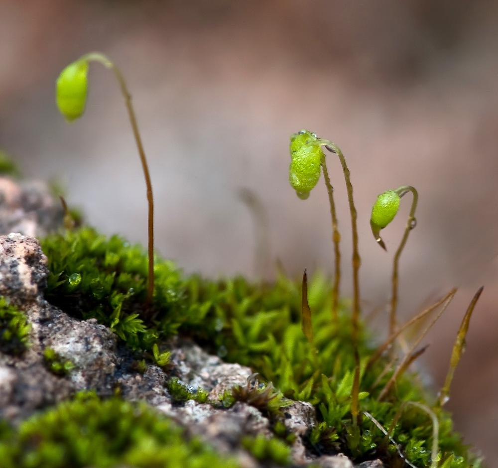 Moos sporophyten foto bild pflanzen pilze flechten for Moos bilder pflanzen