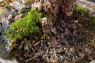 Moos und Glibber an meiner Mangrove