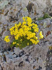 Moosähnliches Felsenblümchen