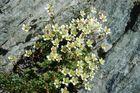 Moosartiger Steinbrech auf HOHSAAS 3250 m im Saastal, Wallis