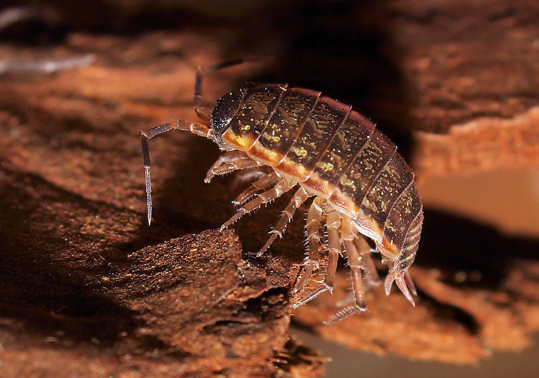 Moosassel ( Philoscia muscorum )