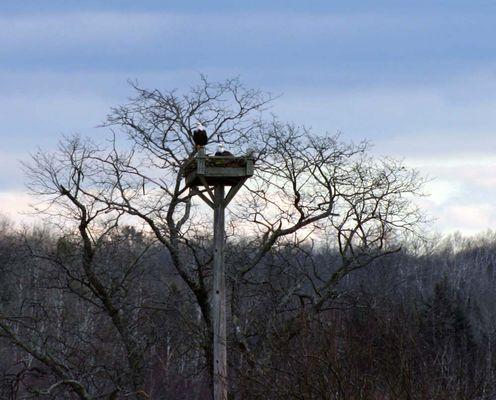 Moosehorn Wildlife Refuge Eagles