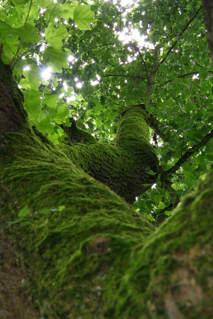 Moosiger alter Baum
