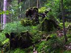 Moosüberwucherte Baumstümpfe & Farn