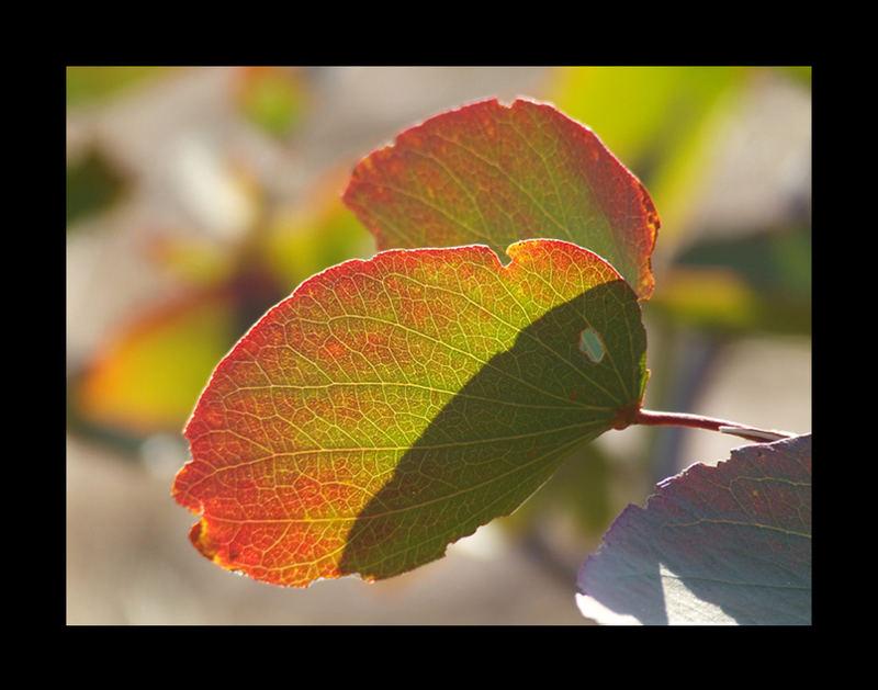 Mopane Leaf
