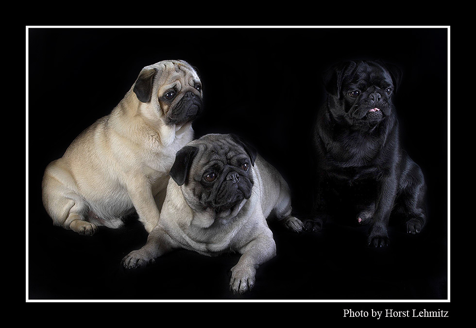 Mops-Trio.......