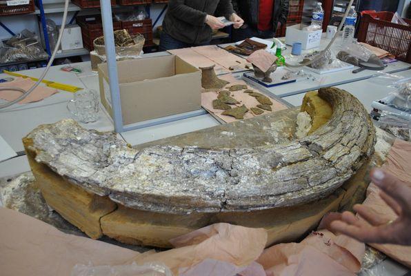 morceau de défense de mamouth (1m30)