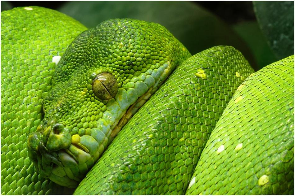 Morelia viridis
