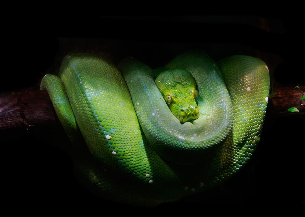 Morelia viridis...