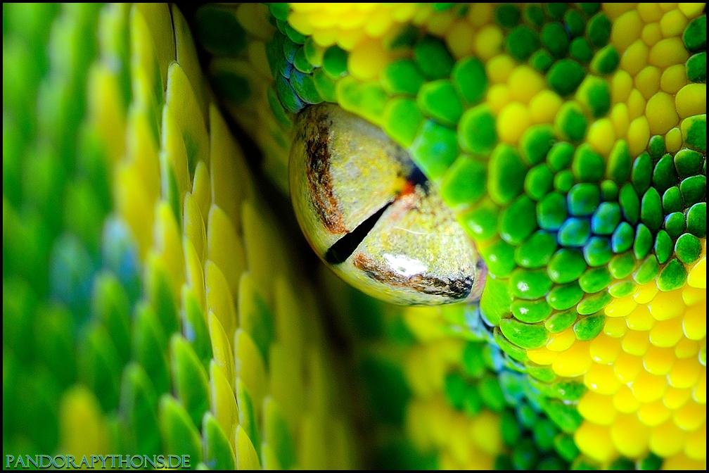 Morelia viridis High Yellow Blue Line
