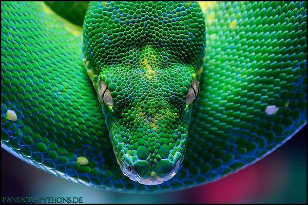 Morelia viridis Sorong 2