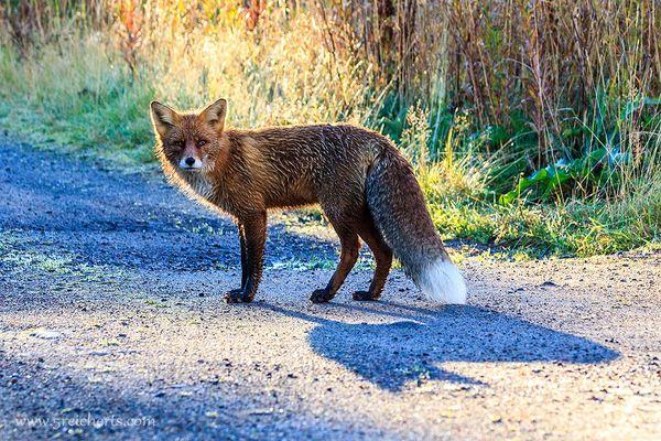 morgendlicher Spaziergang mit dem Fuchs