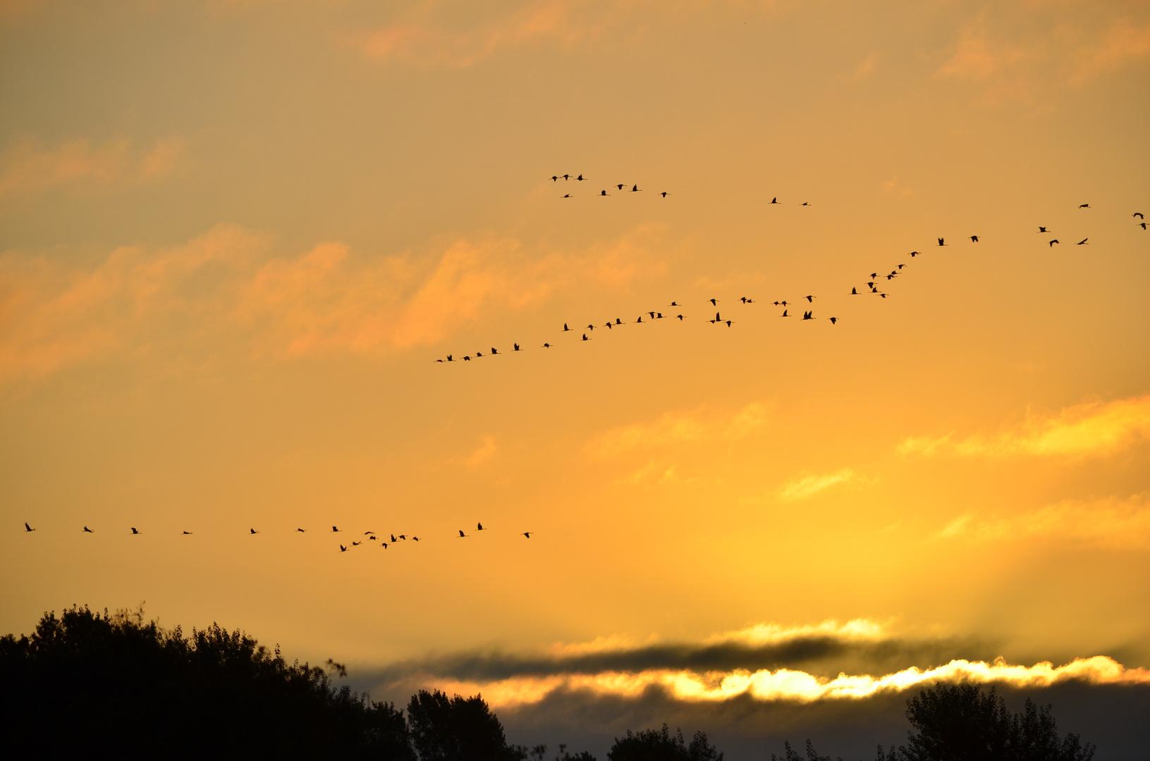 Morgenflug der Kraniche