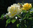 Morgenlicht im Rosengarten
