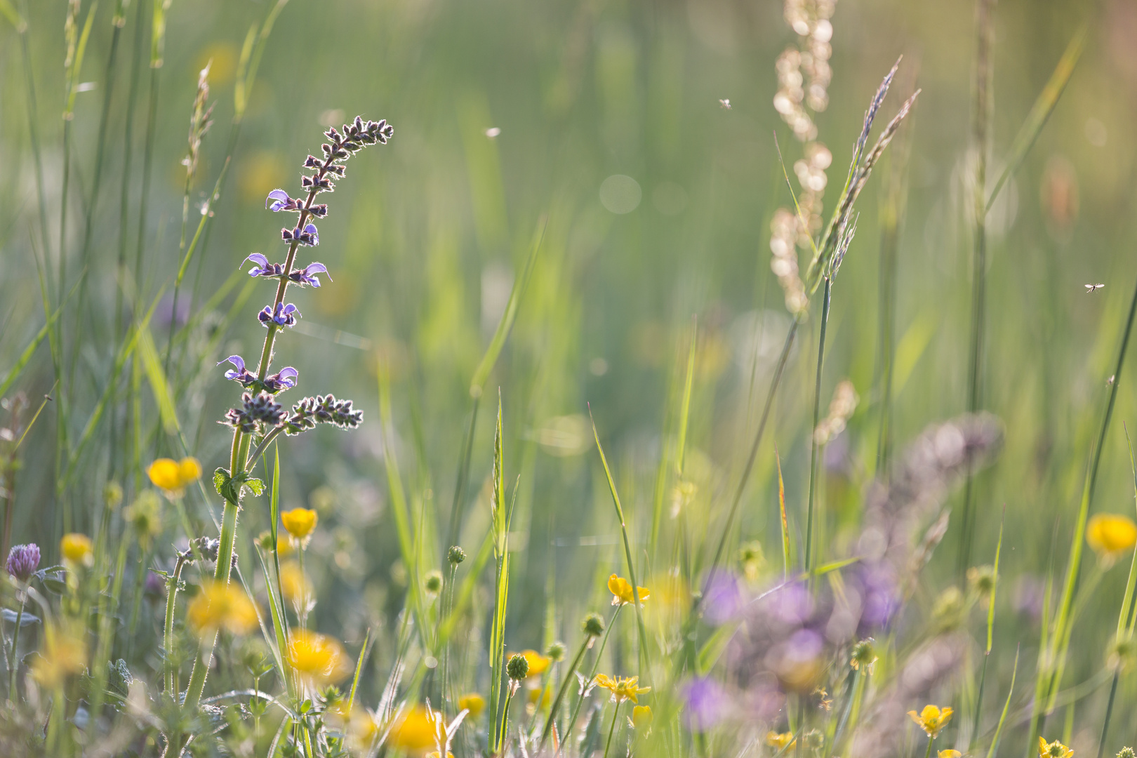 Morgenlicht in der Blumenwiese