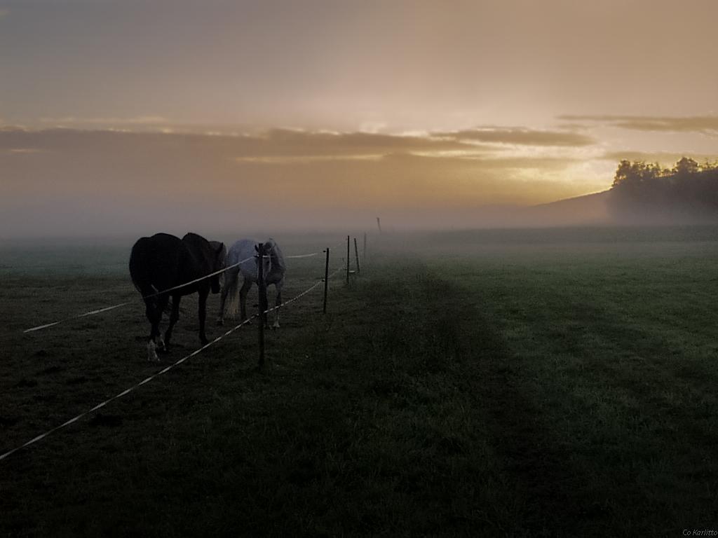 Morgennebel Pferde