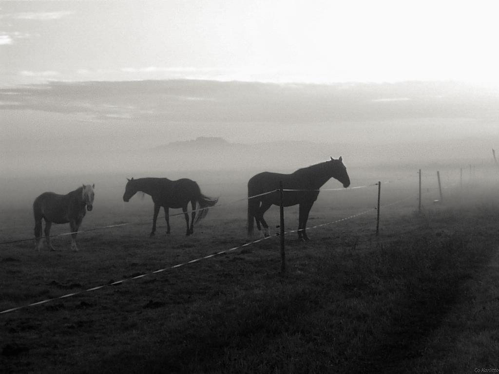 Morgennebel Pferde sw