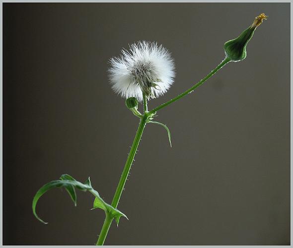 Morgenruf der Blume