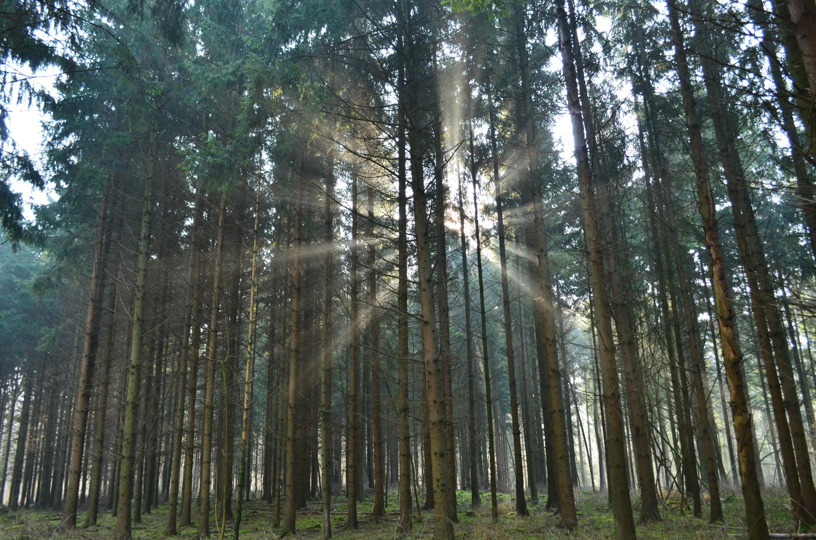 Morgens im leicht vernebelten Wald
