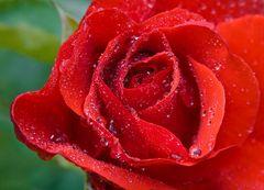 morgens um 8 im Garten - rote Rose