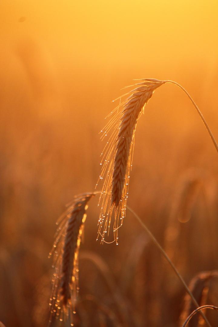 Morgensonne im Kornfeld