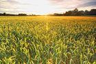 Morgensonne über dem Kornfeld