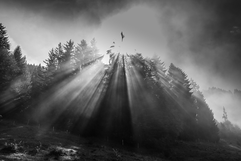 Morgensonnenebelbaum