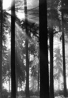 Morgenstimmung im Fichtenwald