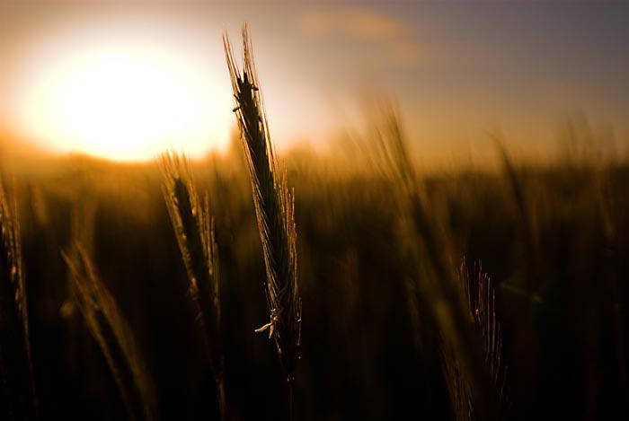 Morgenstund hat Korn im Mund