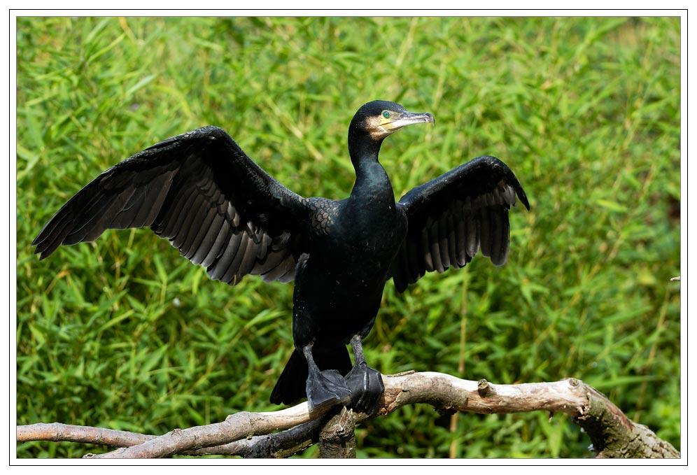 Morgentliches Trocknen des Kormorans (Phalacrocorax carbo)