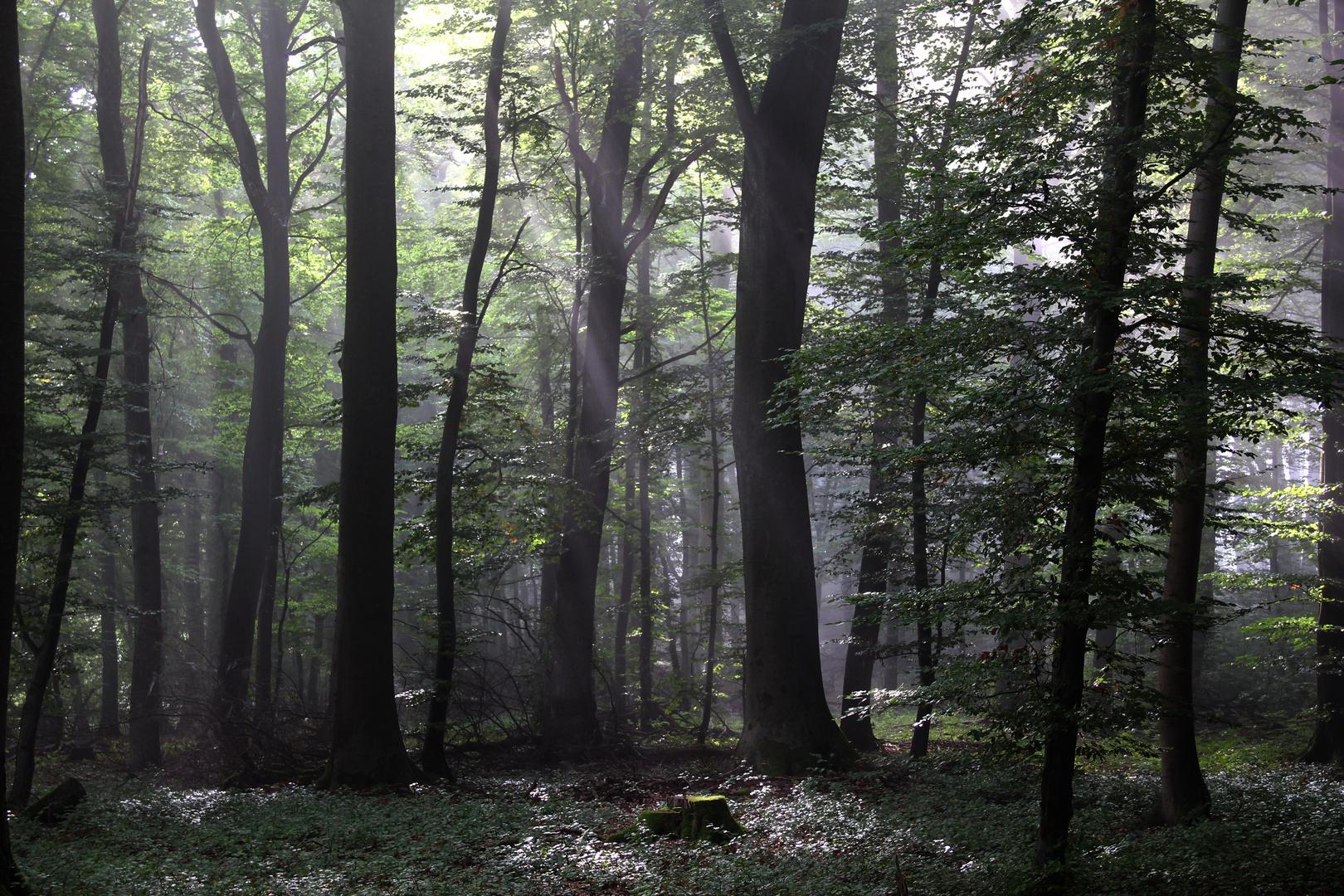 Morgenwald im Spätsommer