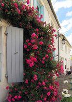 Mornac-sur-Seudre, une cascade de roses sur un mur - Mornac-sur-Seudre, ein Rosenschwall