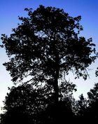 Morning Oak