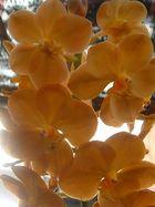 morning orchide