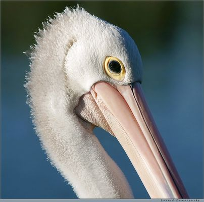 Morning portrait of a pelican