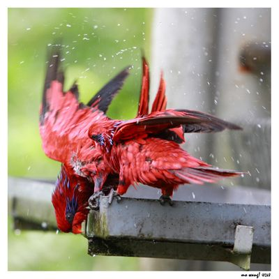 Morning shower @ Bird Park Singapore