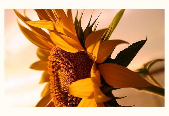 morning sun flower