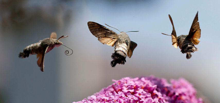 Moro sphinx - Sphinx colibri - Sphinx du caille-lait (Macroglossum stellatarum)