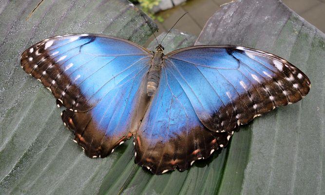Morpho peleides, Der Blaue Morphofalter