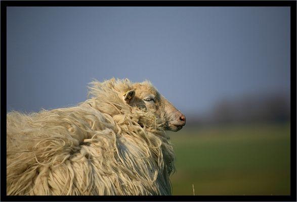 Morsumer Deich Schaf