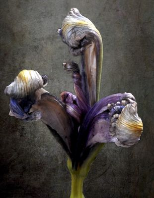 Mort d'un iris