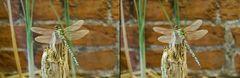 Mosaikjungfer (3D)