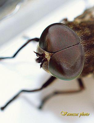mosca dagli occhi grandi