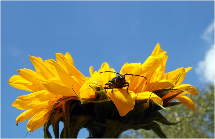 Moschusduft auf Sonnenblume